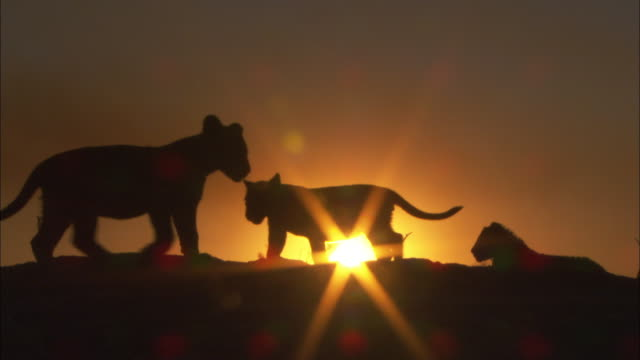 vídeos de stock, filmes e b-roll de 3 african lion cubs walk around in silhouette past sunset - três animais