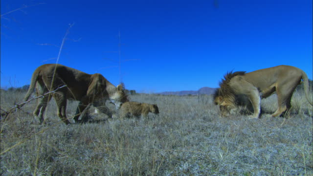 2 african lion cubs with male in long grass joined by lioness and she greets cubs then male - vier tiere stock-videos und b-roll-filmmaterial