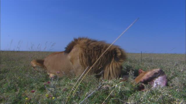 vídeos de stock, filmes e b-roll de ms african lion eating antelope very close to camera  - 50 segundos ou mais