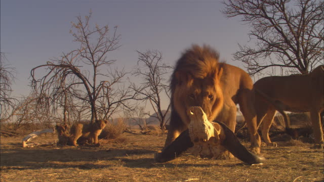WS African lion joins lioness and cubs amongst bare trees then plays with buffalo skull