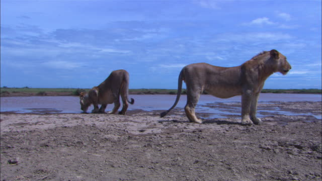 2 african lion juveniles standing on mud by waterhole zi to ms juvenile drinking - waterhole stock videos & royalty-free footage