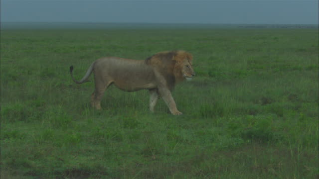 vidéos et rushes de ms african lion looks around and walks across grass as lioness rushes in and greets - accouplement lion