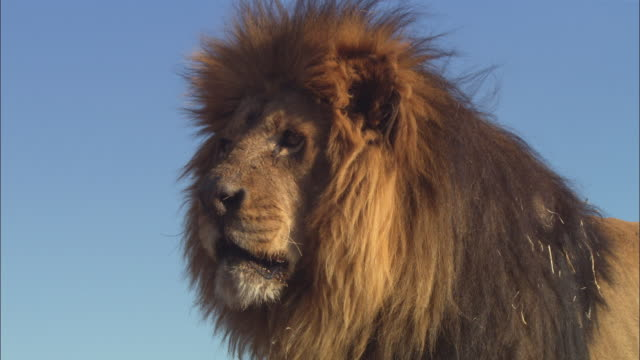 la cu african lion looks around intently then walks away - male animal stock videos & royalty-free footage
