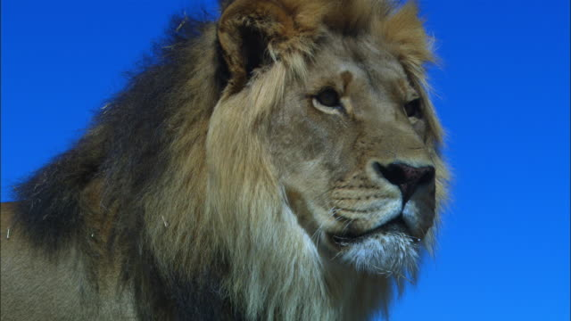 cu african lion looks around intently - male animal stock videos & royalty-free footage