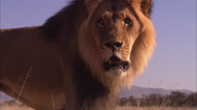 la cu african lion looks intently in profile then walks away from camera - male animal stock videos & royalty-free footage