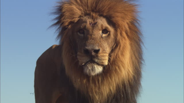 LA CU African lion looks over lens then moves towards camera