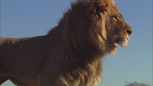 la cu african lion looks over lens then walks towards camera - standing stock videos & royalty-free footage