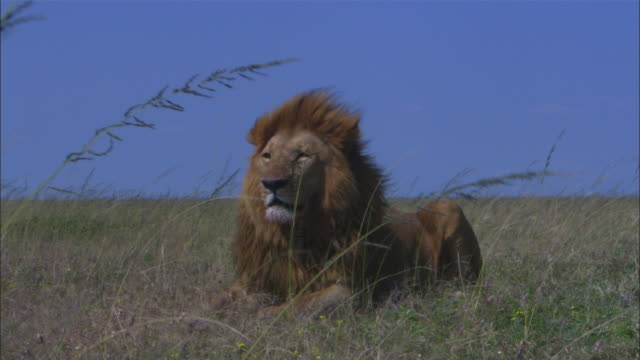 MS African lion lying in long grass gently falls asleep