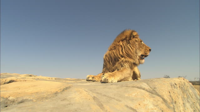 LA MS African lion lying on rock facing camera then gets up and walks away