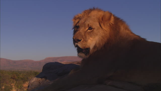 vidéos et rushes de cu african lion lying on top of rocky outcrop looking around intently in shade and walks off - outcrop