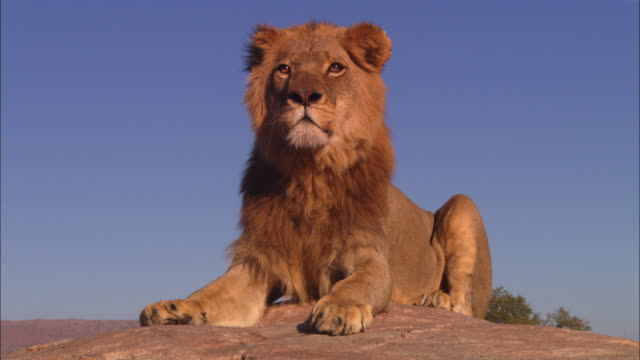 ms african lion lying on top of rocky outcrop looking around intently - reclining stock videos and b-roll footage