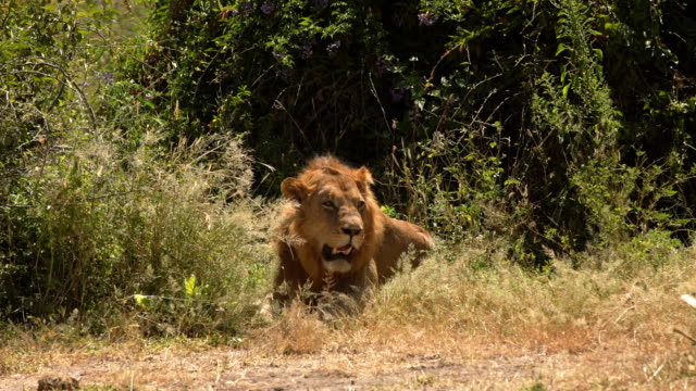 african lion male - mpumalanga province stock videos and b-roll footage