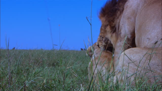 vidéos et rushes de ms african lion pair lying in long grass get up and walk then mate away from camera  zi to cu then tu to ms male as they separate - accouplement lion