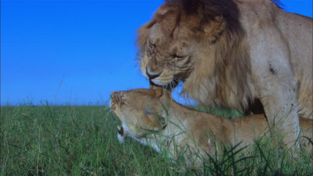 vidéos et rushes de cu african lion pair lying in long grass then zo to ms as they get up and mate in profile very close to camera - accouplement lion
