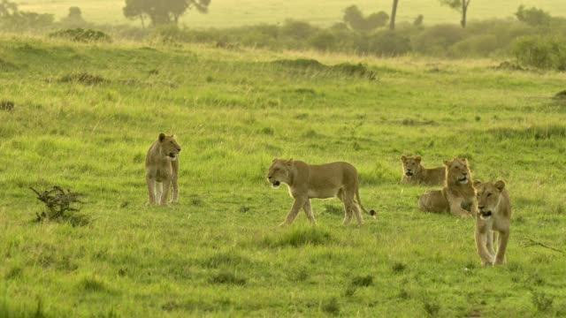 african lion, panthera leo, lion pack, masai mara national reserve, kenya, africa - male animal stock videos & royalty-free footage