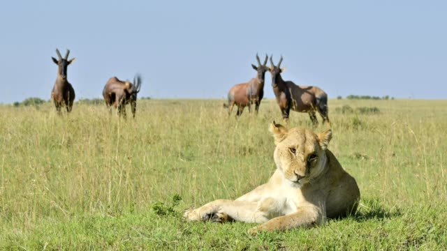 african lion, panthera leo, lioness from topi antelopes observe, masai mara national reserve, kenya, africa - antilope stock-videos und b-roll-filmmaterial