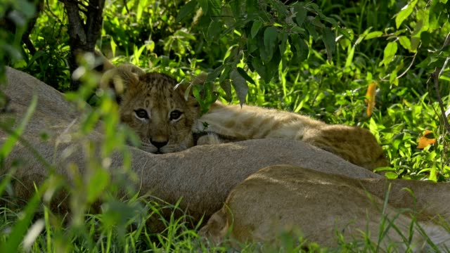 african lion, panthera leo, lioness with cubs with mother, masai mara national reserve, kenya, africa - 絶滅の恐れのある種点の映像素材/bロール