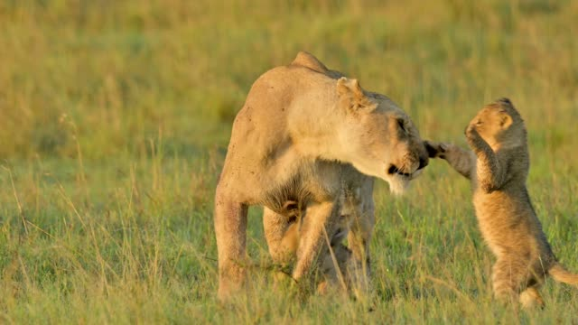 african lion, panthera leo, lioness with two cubs playing with mother, masai mara national reserve, kenya, africa - raubtier stock-videos und b-roll-filmmaterial
