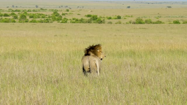 african lion, panthera leo, male and lioness, masai mara national reserve, kenya, africa - male animal stock videos & royalty-free footage