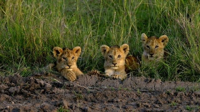 african lion, panthera leo, three cubs, masai mara national reserve, kenya, africa - three animals stock videos & royalty-free footage
