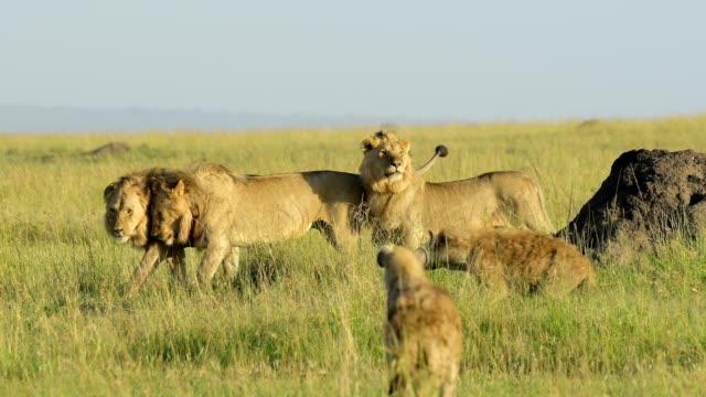 african lion, panthera leo, three male lions, with group of spotted hyena, crocuta crocuta, masai mara national reserve, kenya, africa - ケニア点の映像素材/bロール