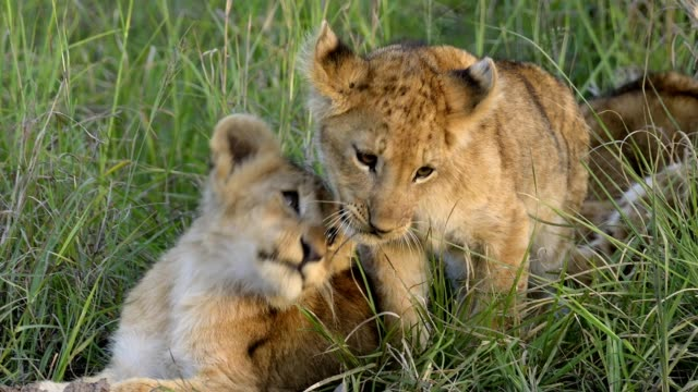 african lion, panthera leo, two cubs, masai mara national reserve, kenya, africa - young animal stock-videos und b-roll-filmmaterial