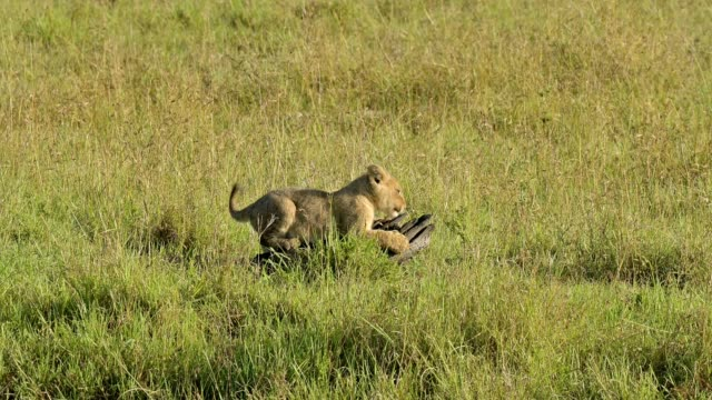 african lion, panthera leo, two cubs playing with tree root, masai mara national reserve, kenya, africa - ceppaia video stock e b–roll