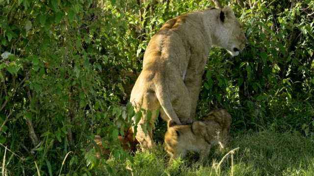 african lion, panthera leo, two lioness with cubs, masai mara national reserve, kenya, africa - young animal stock videos & royalty-free footage