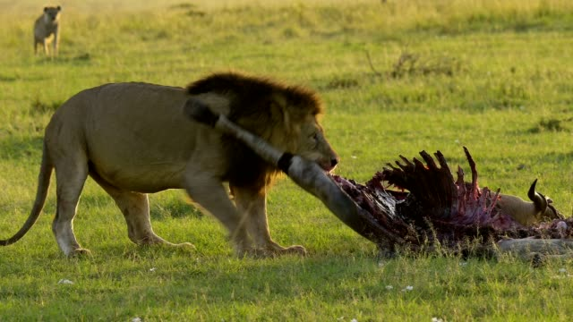 african lion, panthera leo, with prey, elands antelope, taurotragus oryx, masai mara national reserve, kenya, africa - animals hunting stock videos & royalty-free footage