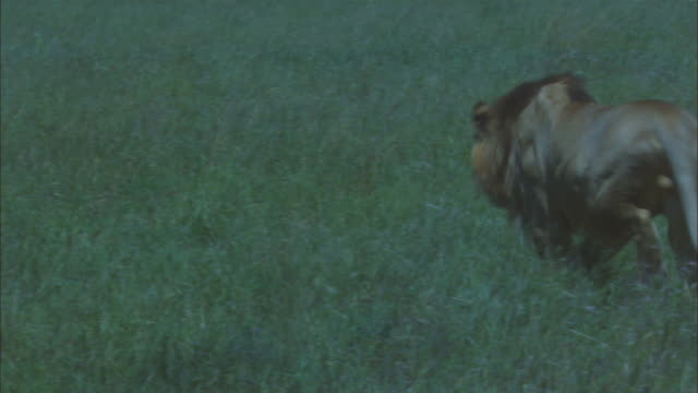 African lion runs from camera and attacks wildebeest on the ground ZI to CU