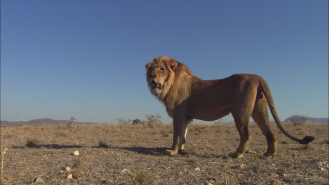 African lion standing on dry grassland sniffs at ground then walks away in profile