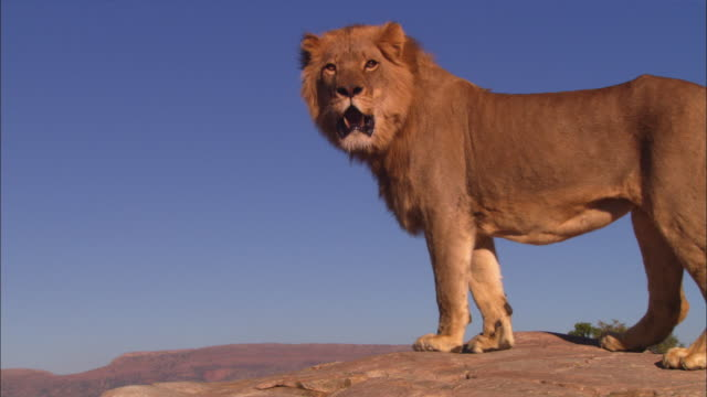 ms african lion standing on top of rocky outcrop looking around intently - standing stock videos & royalty-free footage