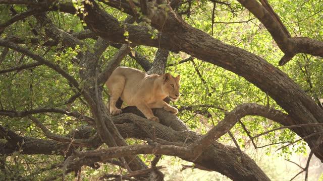 アフリカライオン - ライオン点の映像素材/bロール