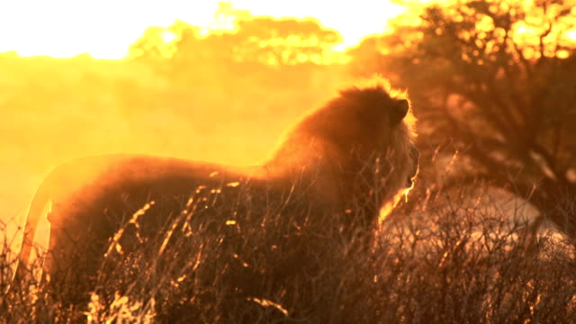 afrikanische lion - wildtier stock-videos und b-roll-filmmaterial