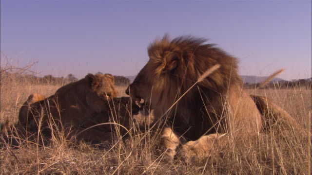 african lion with lioness and 2 cubs in long grass looking to camera then male snarls and walks away - sich pflegen tierisches verhalten stock-videos und b-roll-filmmaterial