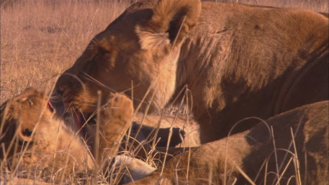 CU African lioness and 2 cubs licking and grooming in long grass