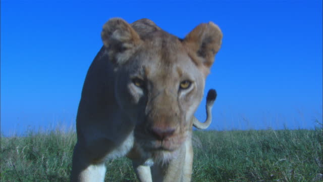 vídeos de stock, filmes e b-roll de ms african lioness and cub eating wildebeest carcase in foreground close to camera as lioness moves forward looks intently into lens then pulls carcase away in her jaws - morto