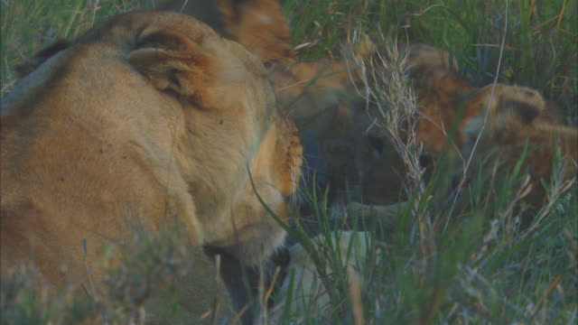 african lioness and cubs eating wildebeest carcase in long grass zi to cu cubs - medium group of animals stock videos & royalty-free footage
