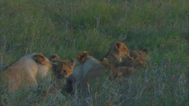 cu african lioness and cubs eating wildebeest carcase in long grass zi to cu lioness licking cub - medium group of animals stock videos & royalty-free footage