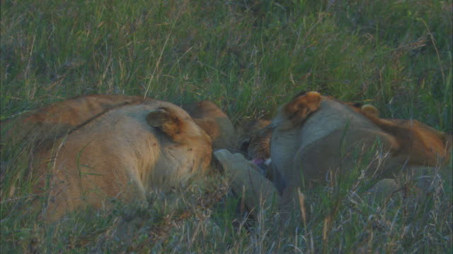 cu african lioness and cubs eating wildebeest carcase in long grass with cubs very active - medium group of animals stock videos & royalty-free footage