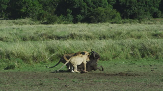 vídeos de stock e filmes b-roll de ws african lioness and large cub drag wildebeest carcase away from camera into long grass - família animal