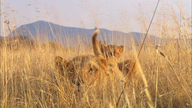 MS African lioness crouched in grass with cubs then rushes past camera