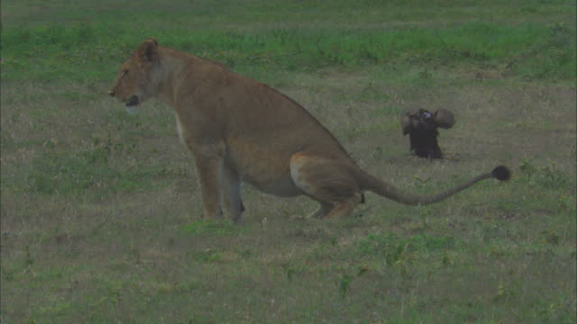 CU African lioness defaecates and vultures arrive and start eating dung