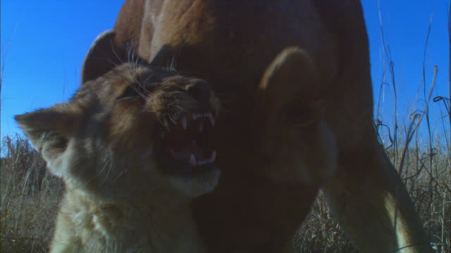 cu african lioness grooms and bites at cub in long grass very close to camera and cub snarls back - 歯をむく点の映像素材/bロール