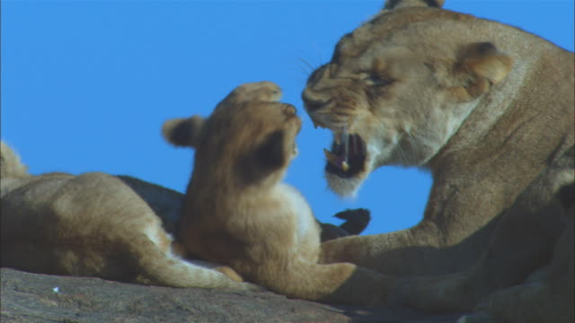 cu african lioness grooms cubs on rocky outcrop zo to ms - medium group of animals stock videos & royalty-free footage
