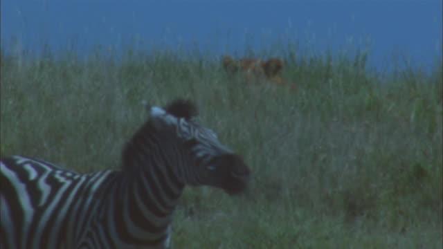 MS African lioness hidden in grass with zebra walking through foreground
