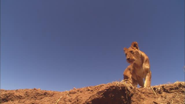 vídeos y material grabado en eventos de stock de la african lioness jumps down from earth bank very close to camera - felino grande