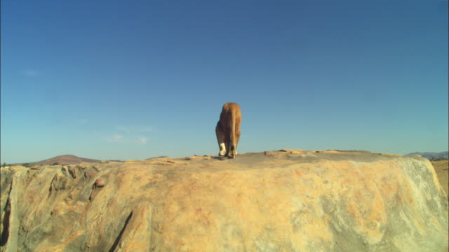 LA African lioness jumps up onto rocky outcrop and looks around