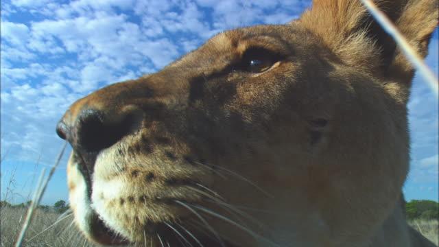 ecu african lioness looks around in long grass - morrhår bildbanksvideor och videomaterial från bakom kulisserna