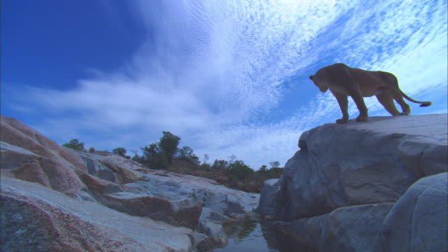 vidéos et rushes de la african lioness looks around rocky outcrop and passes very close to camera - outcrop